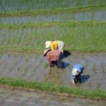 Rijst planten op Bali