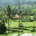 Rijst terrassen op Bali