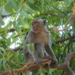 Apen op Bali